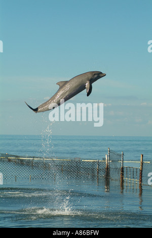 A dolphin plays in a captive environment at the Dolphin Research Center at Grassy Key - Stock Photo