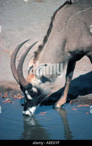 Close up of male Roan Antelope drinking at a pool Hwange National Park Zimbabwe Africa - Stock Photo