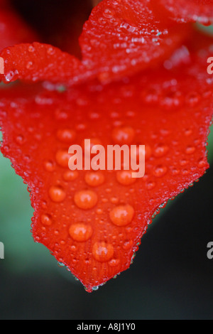Red Tulip flower petal with morning dew - Stock Photo