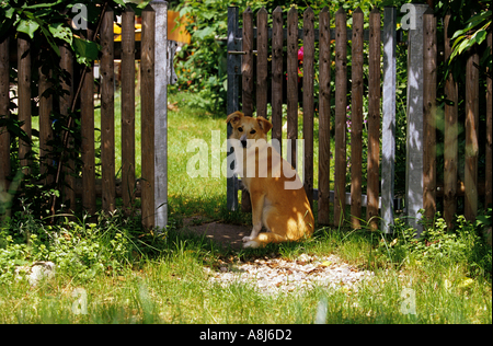 Mixed-breed dog sitting in front of a garden gate - Stock Photo