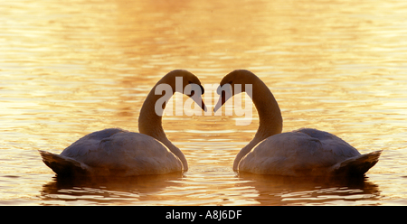two mute swans in water / Cygnus olor - Stock Photo