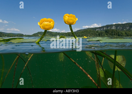 Flowering yellow water lilies (Nuphar lutea) in the lake of Ilay (France). Nénuphars jaunes en fleurs dans le lac - Stock Photo