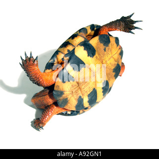 Close-up of a tortoise upside down - Stock Photo