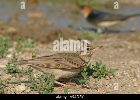 crested lark Galerida cristata - Stock Photo