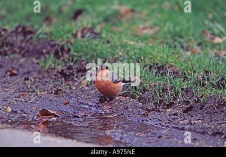 Eurasian Bullfinch Pyrrhula pyrrhula male drinking from roadside puddle New Forest Hampshire England - Stock Photo