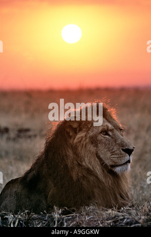 Portrait of a male lion (panthera leo) in front of the rising sun in the Masai Mara Game Reserve in Kenya. - Stock Photo