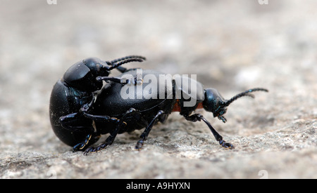 Two beetle (Timarcha tenebricosa) in mating - Stock Photo