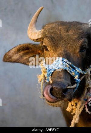 Indian water buffalo head portrait. India - Stock Photo