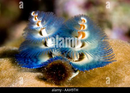Blue Tube Worm or Christmas Tree worm, Spirobranchus giganteus - Stock Photo
