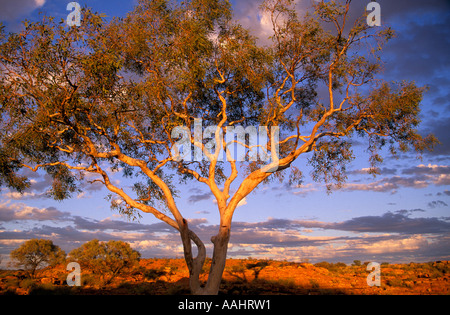 Gum tree in late afternoon light Watarrka Kings Canyon National Park Central Australia Northern Territory Horizontal - Stock Photo