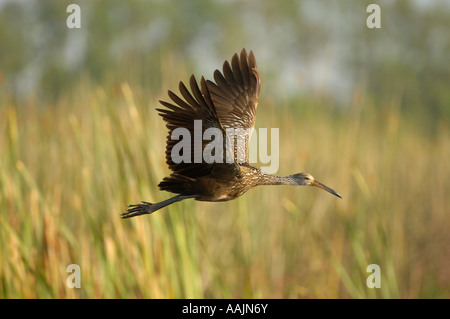 Limpkin Aramus guarauna Florida USA in flight - Stock Photo
