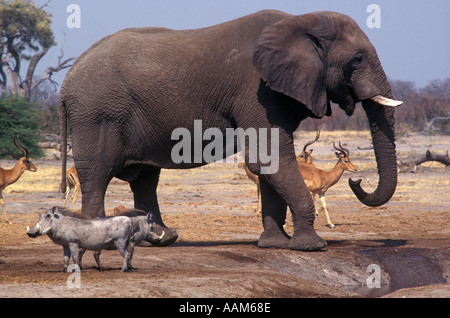 IMPALAS WARTHOGS wait for an ELEPHANT to finish drinking at a watering hole in the SAVUTI MARSH - Stock Photo