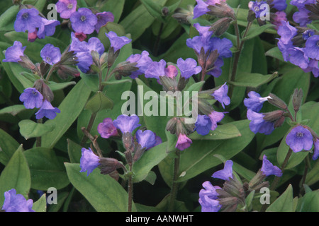 Cowslip lungwort, Blue lungwort (Pulmonaria angustifolia), blooming - Stock Photo