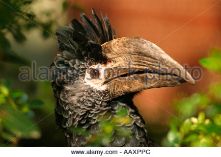 Black and white Casqued Hornbill Bycanistes Subcylindricus - Stock Photo