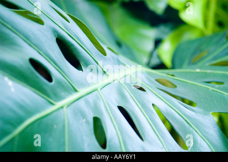 Cheese plant leaf - Stock Photo