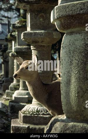 A Sika Deer (Cervus nippon) among stone lanterns in Nara, Japan - Stock Photo
