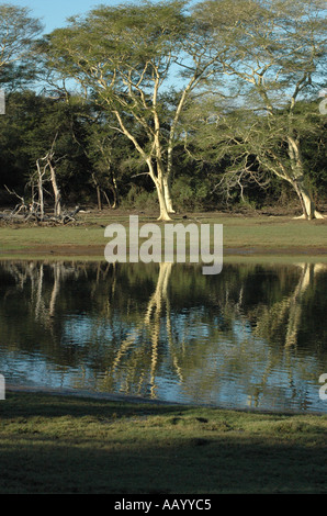 Fever Trees and Sycamores at Ndumu South Africa - Stock Photo