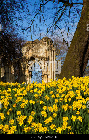 Spring Daffodils by St Marys Abbey in Museum Gardens York England - Stock Photo