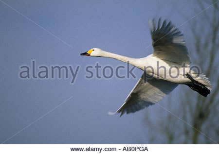 Bewick s Swan In Flight Olor columbianus bewickii Slimbridge Gloucester UK - Stock Photo