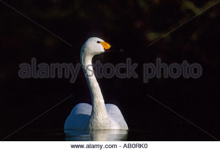 Bewicks Swan Olor columbianus bewickii Slimbridge Gloucester UK - Stock Photo