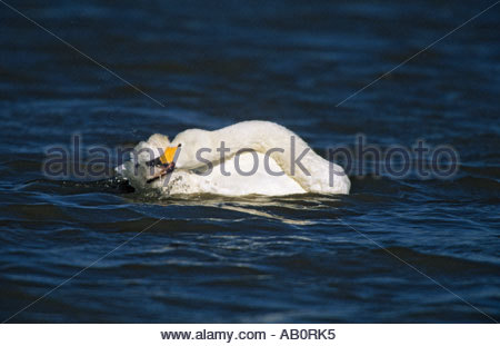 Bewick s Swan Washing Olor columbianus bewickii Slimbridge Gloucester UK - Stock Photo