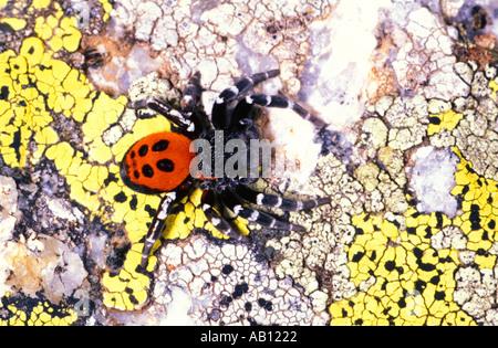 Ladybird Spider, Eresus niger. Male on rock with lichens - Stock Photo