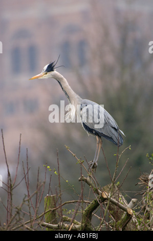 Grey heron Ardea cinerea adult perched in tree at heronry St Albans cathedral in background Hertfordshire England - Stock Photo