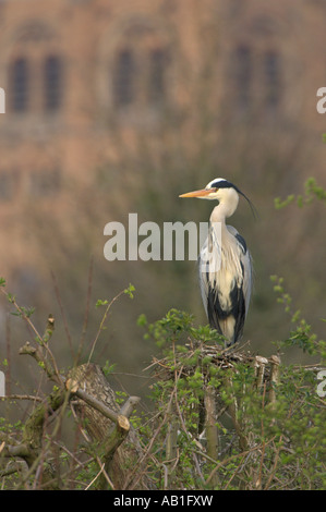 Grey heron Ardea cinerea adult perched on nest at heronry St Albans cathedral in background Hertfordshire England - Stock Photo
