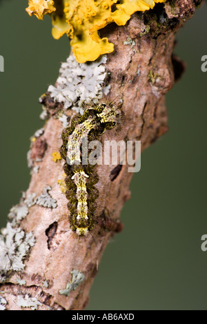Buff Footman Eilema deplana Larva feeding on lichen potton bedfordshire - Stock Photo