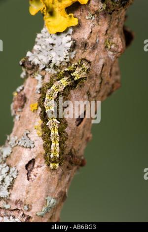 Buff Footman Eilema deplana Larvae feeding on lichen potton bedfordshire with nice defuse background potton bedfordshire - Stock Photo
