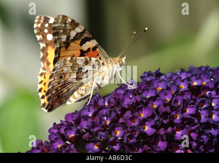 Painted Lady Butterfly on Purple Buddleja Flower Loganiaceae in an Alsager Cheshire Garden England United Kingdom - Stock Photo