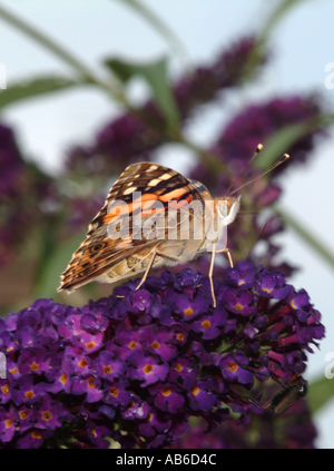 Underside of Painted Lady Butterfly Feeding on Purple Buddleja Flower Loganiaceae in an Alsager Cheshire Garden - Stock Photo