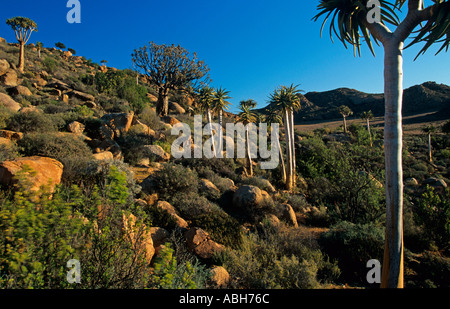 Quiver trees Aloidendron dichotomum growing in Goegap Nature reserve in Namaqualand Southern Africa - Stock Photo