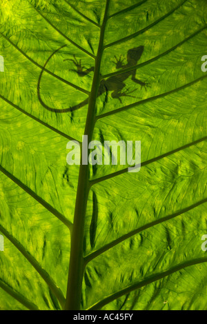 A green crested Basilisk outline (Basiliscus plumifrons), backlit taken. Alocasia macrorrhiza. - Stock Photo