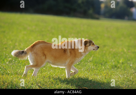 behaviour : half breed dog - threatening - Stock Photo