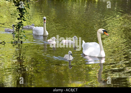 Swans and cygnets on the River Ock at Abingdon 3 - Stock Photo