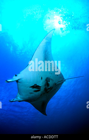 Manta ray in Goofnuw Channel Yap island micronesia south pacific - Stock Photo