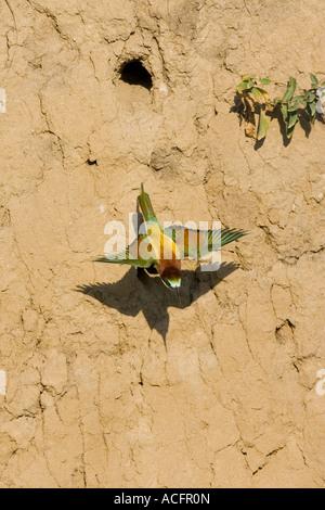 European Bee-eater leaving nest hole - Stock Photo