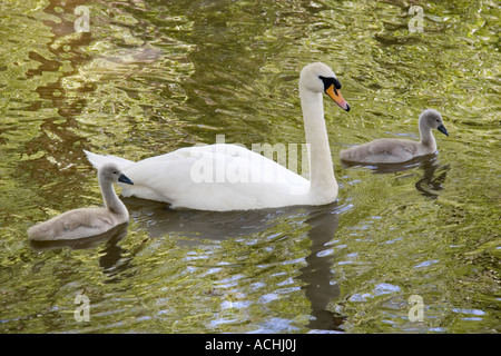 Swan and cygnets on the River Ock at Abingdon 1 - Stock Photo