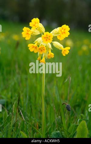 COWSLIP Primula veris - Stock Photo
