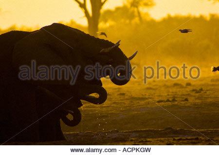 Family of Thirsty Elephants Drinking at Waterhole, Savuti Botswana - Stock Photo