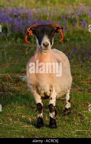 Adult ram with bright orange horns standing in a field with bluebells in the background - Stock Photo