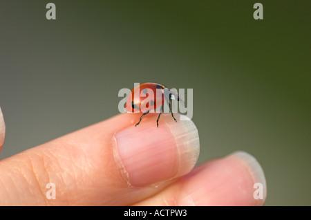 Ladybird on finger - Stock Photo