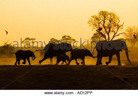 Family of Thirsty Elephants Running To Waterhole, Savuti Botswana - Stock Photo