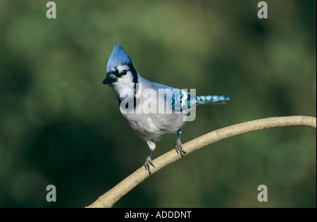 Blue Jay Cyanocitta cristata adult San Antonio Texas USA Oktober 2003 - Stock Photo