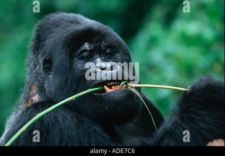 Mountain Gorilla Gorilla gorilla beringei Stem peeling is a favourite feeding technique Distribution Rwanda Uganda - Stock Photo