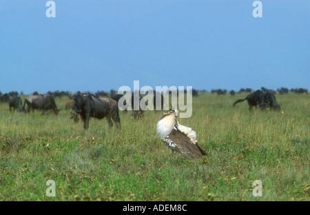 Displaying Kori Bustard in open grassland with wildebeest in background - Stock Photo