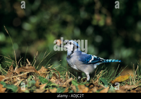 Blue Jay Cyanocitta cristata adult with Pecan San Antonio Texas USA Oktober 2003 - Stock Photo