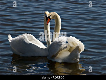 Pair two mute swans in courtship behaviour making a heart shape with their necks and heads backlit against deep - Stock Photo