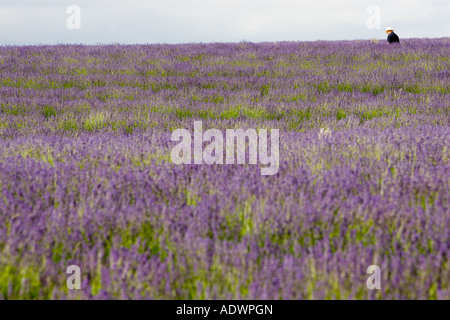 Man walks through Snowshill lavender field Worcestershire United Kingdom The Cotswolds - Stock Photo